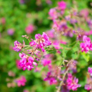 水戸市の花、萩
