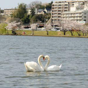 千波湖、白鳥