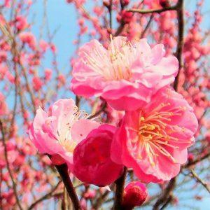 水戸市の木、梅